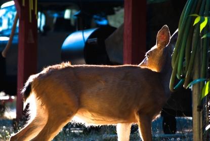 deer_light